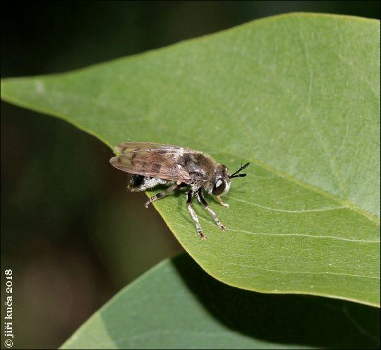 Pestřenka mravenčí