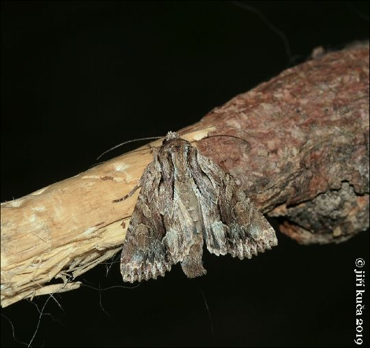 Šedavka trávová