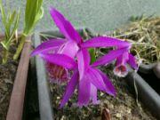 Kvetoucí orchidej Pleione ´Tongariro´