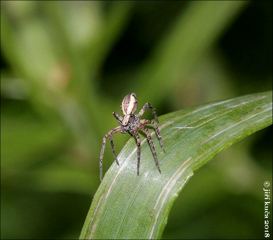Pavouk, neurčeno