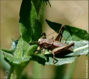 Kobylka křovištní