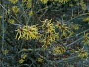 Kvetoucí vilín (Hamamelis) ve Zlíně