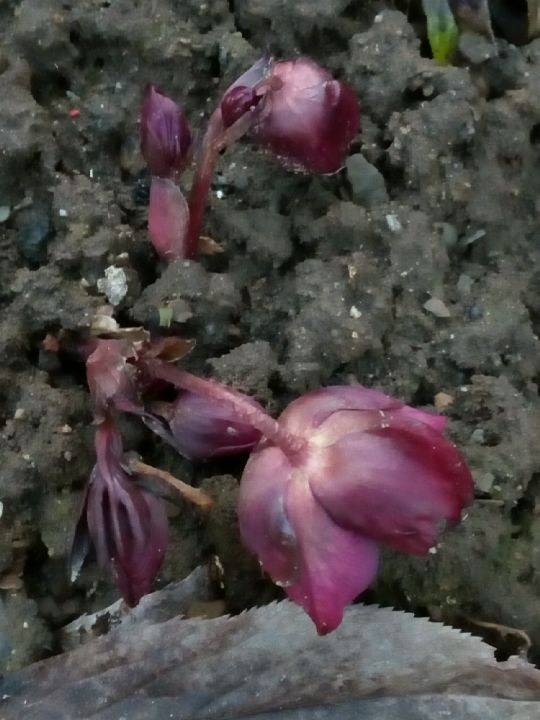 Čemeřice nachová-Helleborus purpurascens