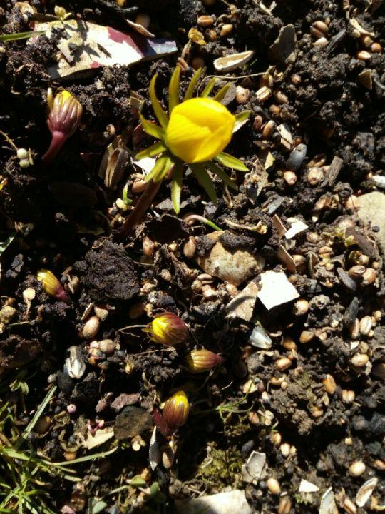 Kvetoucí talovíny (Eranthis)