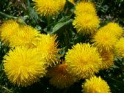 Kvetoucí smetánky lékařské