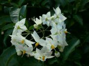 Solanum jasminoides: Václav Kovalčík