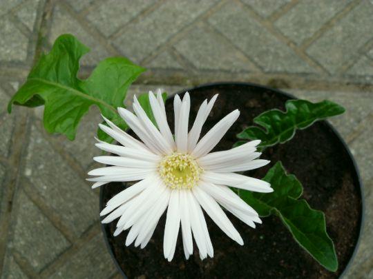 Kvetoucí gerbera: Václav Kovalčík, Zlín