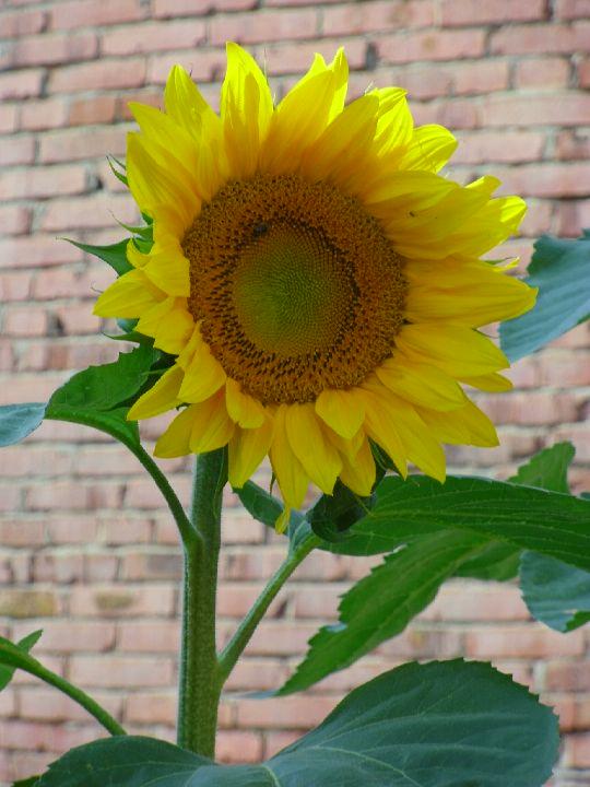 Kvetoucí slunečnice: Václav Kovalčík