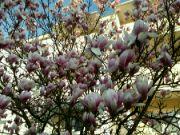Kvetoucí magnólie: Václav Kovalčík, Zlín
