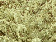 Kvetoucí slivoň: Václav Kovalčík, Zlín