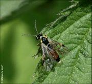 Aglaostigma fulvipes