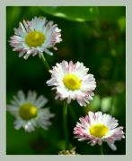 Sluníčkové sedmíkrásky