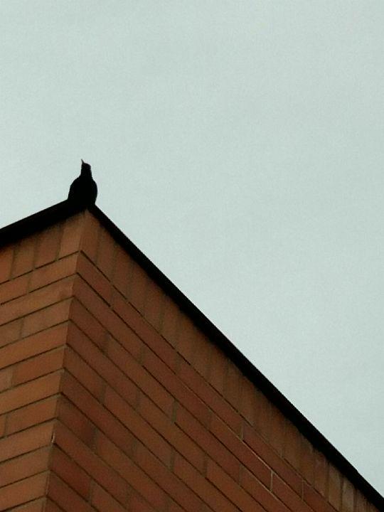 Kos černý na střeše