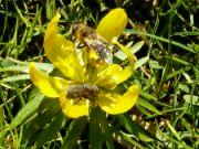 Pestřenka a včelka na talovínu