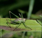 Kobylka bělopruhá