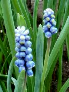 Kvetoucí modřence