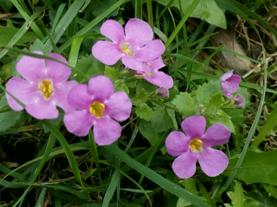 Kvetoucí Bacopa