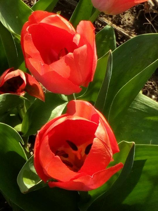 Kvetoucí tulipány: Václav Kovalčík, Zlín