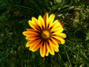 Kvetoucí gazánie