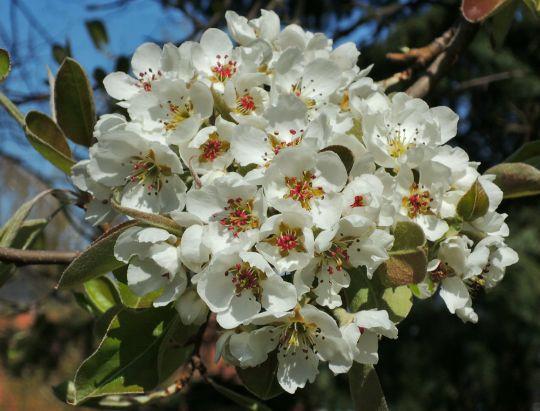 Květy staré hrušně