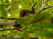 zvědavá veverka z Javorníku
