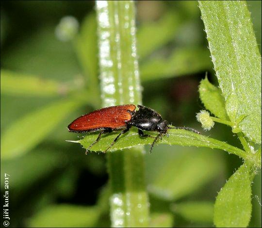 Ampedus pomorum
