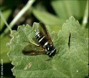 Megalodontes plagiocephalus