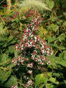 Podzimní astry