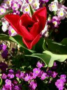 Kvetoucí tulipán ve městě