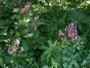 Kvetení zlatohlavých lilií