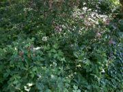 Lilie zlatohlavé v rozkvětu