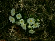 Kvetoucí prvosenky