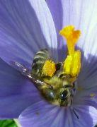 Včelka na květu krokusu