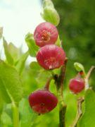 květy borůvky