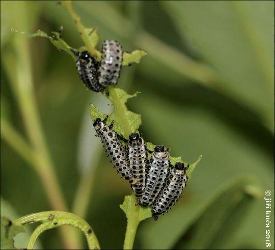 Mandelinka topolová, larva