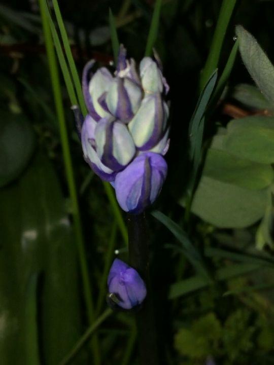 Hyacintovec v noci: Václav Kovalčík,Zlín