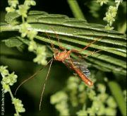Enicospilus merdarius