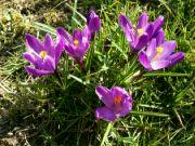Kvetoucí krokusy: Václav Kovalčík, Zlín