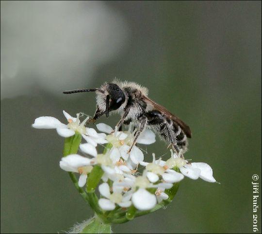 Andrena barbilabris
