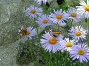 motýli na astře 022