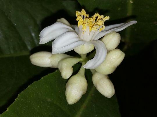 Kvetoucí Citrus v noci: Václav Kovalčík