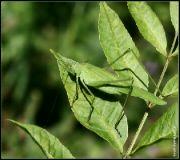 Kobylka křídlatá