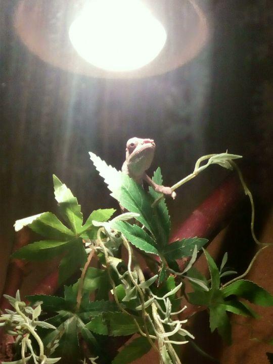 Chameleón ze zverimexu