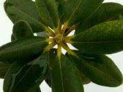 Rhododendron ve sněhu