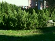 Borovice kleč v Lesoparku