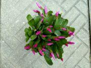 Vánoční kaktus: Václav Kovalčík, Zlín