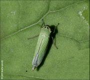 Křísek zelený