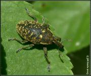Larinus sturnus