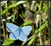 Modrásek jehlicový a nejmenší
