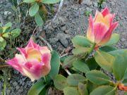 Kvetoucí tulipány: Václav Kovalčík